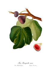 Figs vintage illustration. Watercolour drawing art.