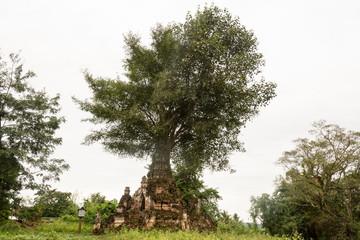 árbol cresciendo desde la punta de una pagoda. Hsipaw, Myanmar