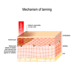 mechanism of tanning. skin pigmentation. Cross-section of the human skin.