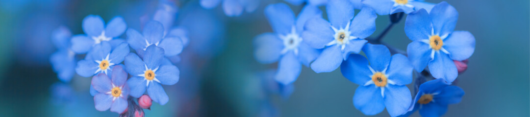 Foto auf Gartenposter Blumen panorama spring background forget-me-not flowers