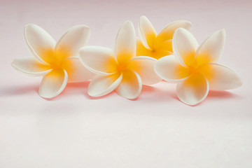 Plumeria flowers isolated on light pink background