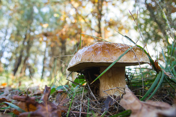 Boletus edulis in a forest