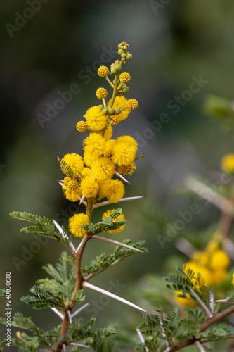 Yellow Flowers Of Acacia Karroo Now Called Vachellia Karroo Stock