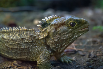 Tuatara, native New Zealand reptile