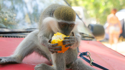 Monkey Eating Orange