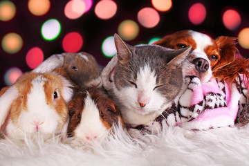 Christmas cat dog rabbit pig cavy animal group animals together loving each other resting xmas day