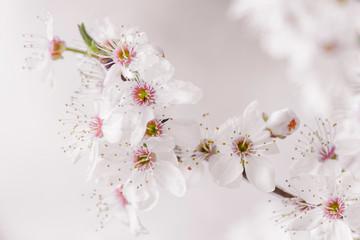Fotografía Flores de cerezo
