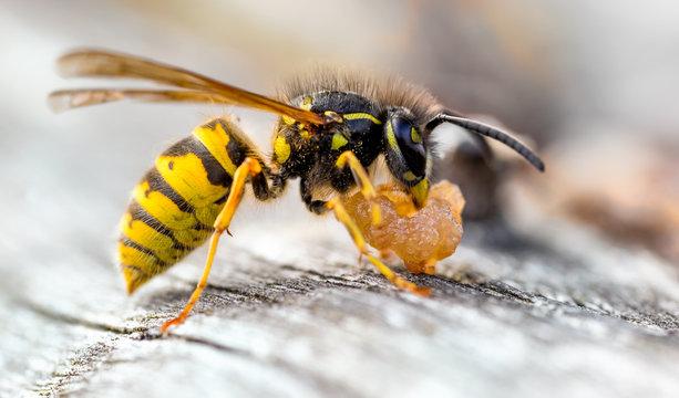 Common Wasp, Vespula vulgaris Scavaging old pear fruit.