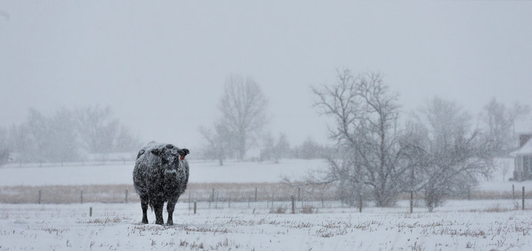 Lone Cow Sheridan, Wyoming