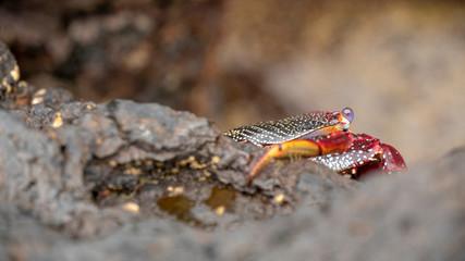 Sally Lightfoot Red Crab