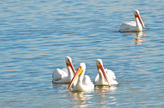 Group of four (4) American white pelicans facing forward with bright pink and orange bills paddling in blue rippling water down Florida's Intracoastal Waterway with copy space above left.