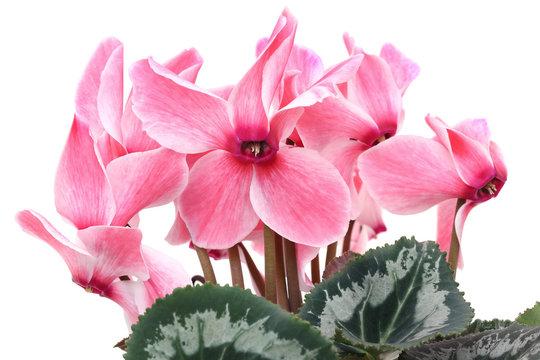 シクラメン 花