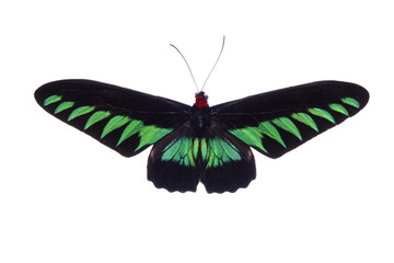 Butterfly : Rajah Brooke's birdwing (Trogonoptera brookiana),birdwing butterfly from Thai-Malay Peninsula. National butterfly of Malaysia. Protected. Isolated on white background. Flying action.
