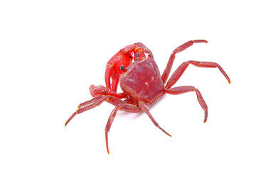Red land crab (Phricotelphusa limula) (Male), One of world most beautiful fresh water crabs, native only in Phuket island, Thailand. It's also known as Fire-Red crabs or waterfalls crab. Rare,Isolated