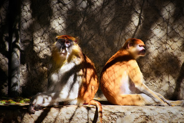 Patas monkeys warming up in the sun.