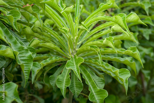 Green Leaves Of Adenium Plant Without Flowers Stock Photo And
