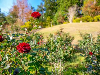 【静岡県伊豆市】公園に咲く赤いバラ【修善寺虹の郷】