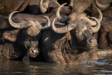 Herd of exhausting looking African Cape buffalo cooling off in waterhole.