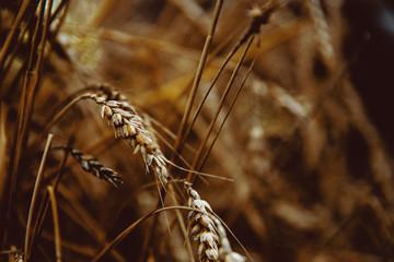 Ripe wheat spikelets