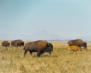 Canvas Prints Bison Buffalo