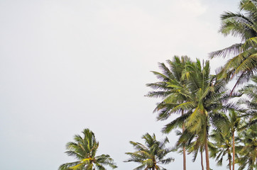 Beautiful coconut tree (Cocos nucifera) against with sky background is member of palm tree family that is popular tropical plant use its fruit as ingredient in food and cosmetic such as coconut oil