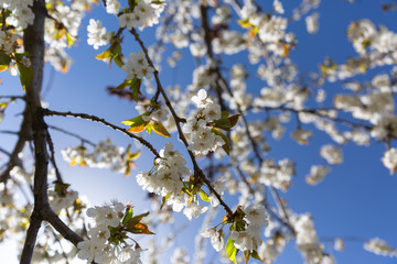 The branches of a blossoming tree. Cherry tree in white flowers. Blurring background.