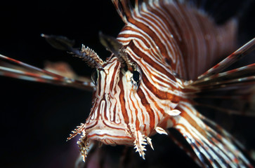 Red Lionfish (Common Lionfish) from the front with black background