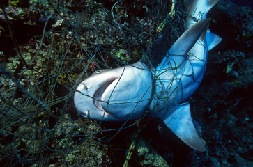 Ocean Environmental Destruction / Marine Protection / Dead Shark entangled in a fishing net and strangled to death