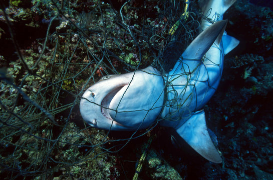 Dead Shark in a fishing net / Ocean Environmental Destruction / Marine Protection