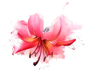 Beautiful pink Lily flower in spring nature outdoors on white background, macro, soft focus. Magical colorful artistic image of the tenderness of nature, spring flower Wallpaper