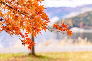 Aluminium Prints Autumn Maple tunnel in autumn of Kawaguchiko, Japan