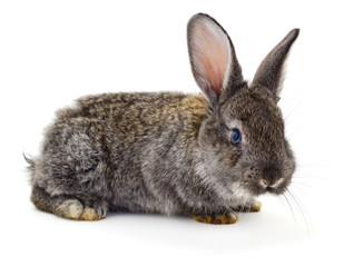Gray rabbit isolated