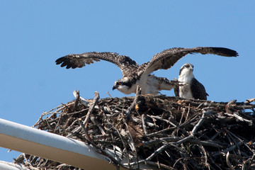 An Osprey fledgling tries out his wings