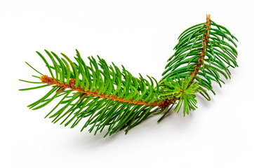 Small branch of Christmas tree (Picea abies, spruce, false spruce). Isolated on white background.
