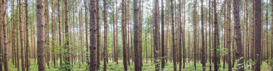 Panorama of a forest