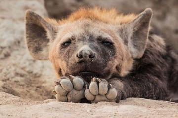 Photo sur Aluminium Hyène Hyena