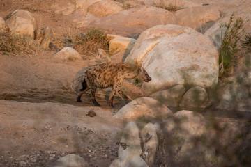 Printed roller blinds Hyena Hyena