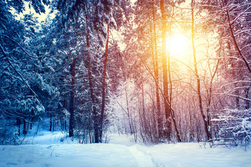 Winter snow forest trees sunset background. Red sunset in winter snow forest trees scene. Winter sunset snow forest trees view.