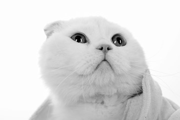 White cat. Portrait of an animal. Cozy home comfort. White wool cute kitten. Muzzle of a cat close up. Pet.