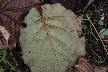 Hazelnut Leaf in Autumn