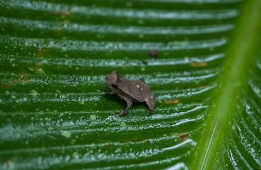 Amazon Rainforest Toad