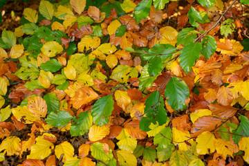 Geäst mit Blättern in Herbstfarben. Standort: Deutschland, Nordrhein-Westfalen, Hoxfeld