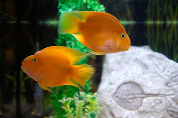 Tropical parrot fish in an aquarium