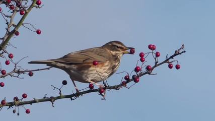 Fotoväggar - Redwing, Turdus iliacus single bird on hawthorn berries, Warwickshire