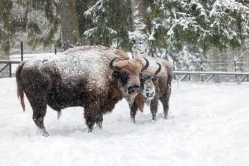 bison in Bialowieza Forest, Hajnowka, Podlaskie region, Poland