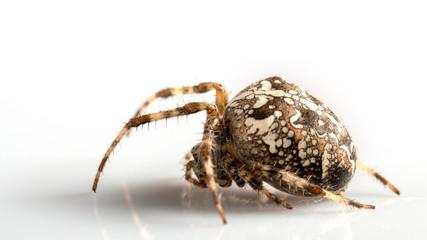 Araneidae Garden spider on the black background close up