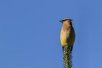 Cedar Waxwing on Pine Tree