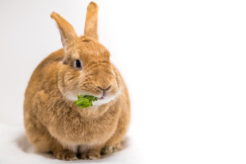 Adorable rufus bunny rabbit makes funny expressions on white background, room for text copy on right
