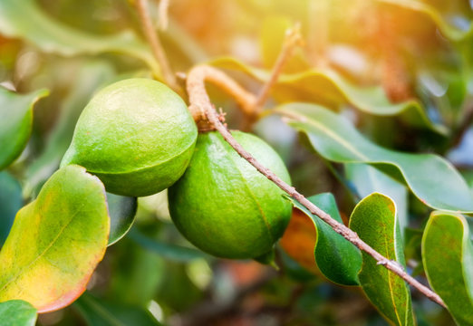Fresh macadamia tree green raw macadamia nut tree and green leaf in the garden fruit macadamia nut field
