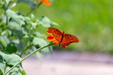 Viceroy butterfly on a flower